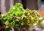 レタスの育て方 栽培方法