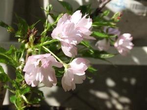 遊恵盆栽 楽天市場店|季節の花苗&1点物の盆栽