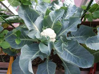カリフラワーの育て方 栽培方法