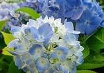 エンドレスサマー 二季咲きアジサイの育て方