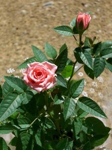 ミニバラ 苗選びと植え付け