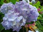 鎌倉明月院、あじさい(紫陽花)