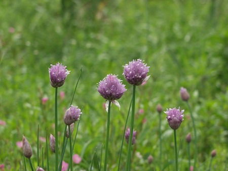 A.schoenoprasum.jpg
