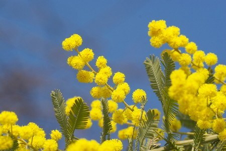 Acacia baileyana02.jpg