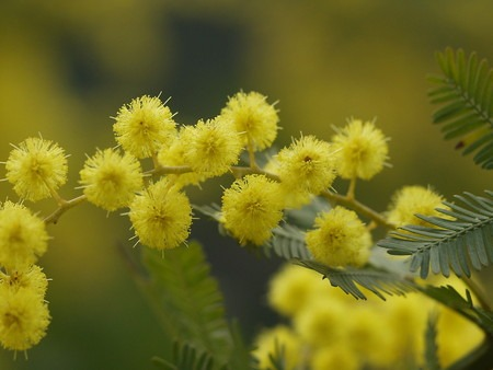 Acacia baileyana (2).jpg