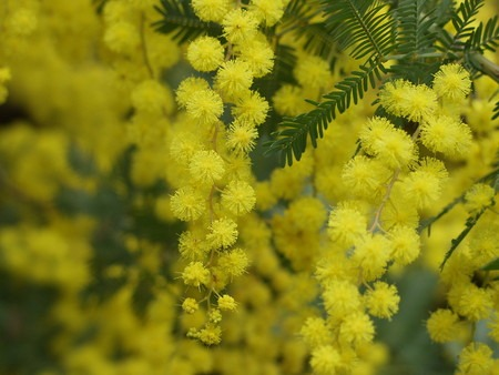 Acacia baileyana (3).jpg