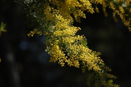 Acacia baileyana (8).jpg
