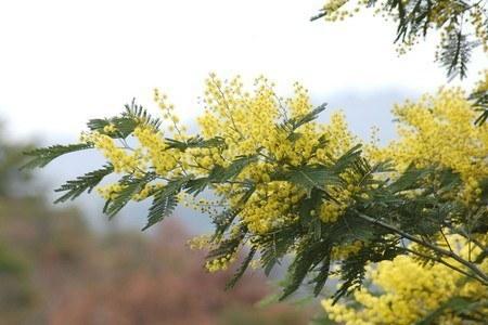 Acacia dealbata.jpg