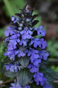 グランドカバー 青い花