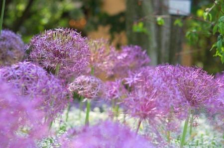 Allium cristophii.jpg