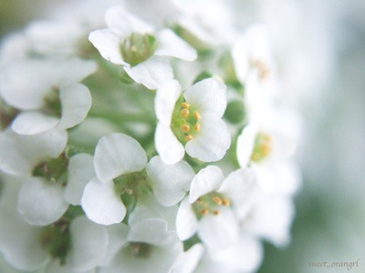 Alyssum (1).jpg