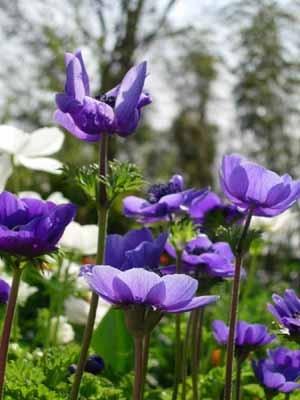 Anemone (2).jpg
