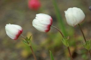 秋植えの花と球根