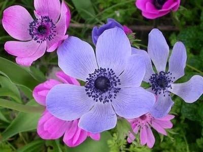 Anemone20coronaria.jpg