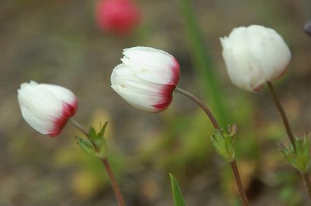 Anemone coronaria (2).jpg