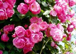つるバラ 育て方|植え付けと移植