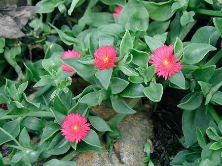 Aptenia cordifolia.jpg