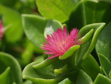 Aptenia cordifolia (2).jpg