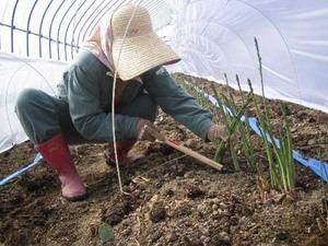 アスパラガスのプランター栽培
