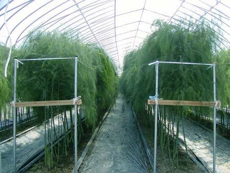 Asparagus (3).jpg