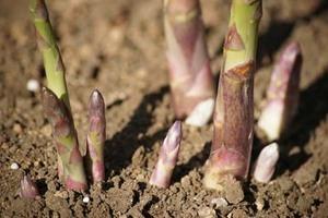 アスパラガス栽培のコツと楽しみ