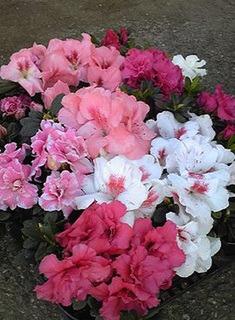 アザレアの栽培|つぼみが咲かなかった理由は?