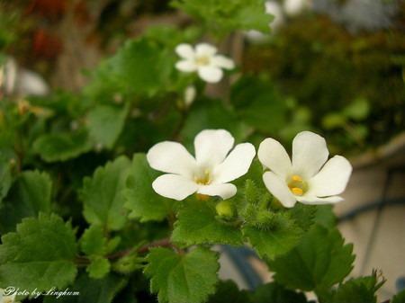 Bacopa diffusus (3).jpg