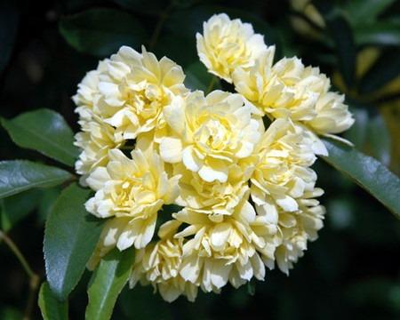 Banksia rose.jpg