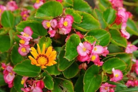 Begonia semperflorens.jpg