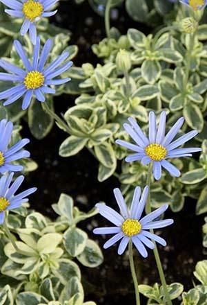 Blue daisy (13).jpg
