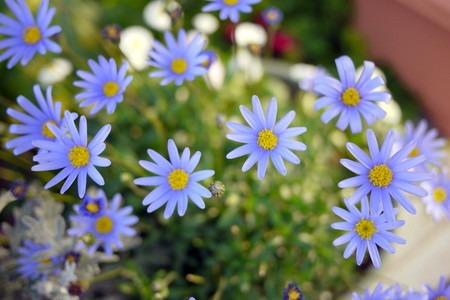 Blue daisy (2).jpg
