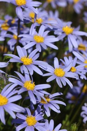 Blue daisy (4).jpg