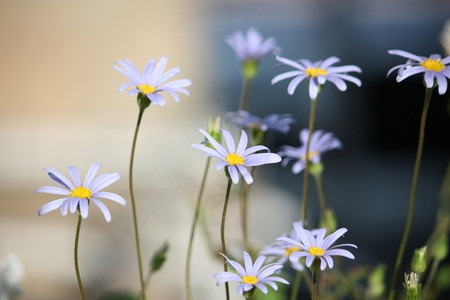 Blue daisy (6).jpg