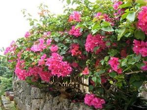 ブーゲンビリア 花が落ちるのは?