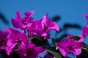 ブーゲンビリア 育て方|花をいっぱい咲かせよう!