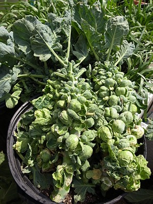 Brussels sprouts (3).jpg