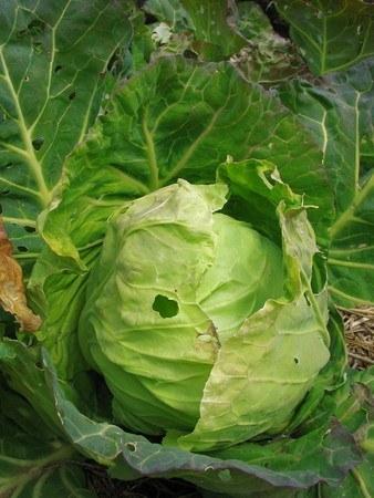 Cabbage002.jpg