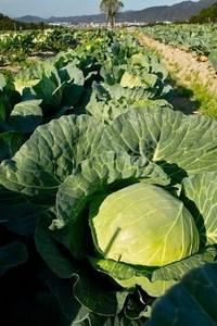 Cabbage009.jpg