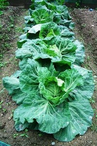 Cabbage010.jpg