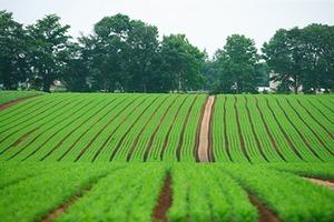 ニンジンの育て方|中耕・土寄せで大きく甘く