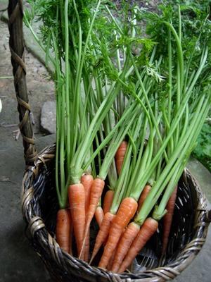 Carrot (11).jpg