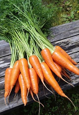 Carrot (9).jpg