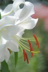 カサブランカの花が咲かない
