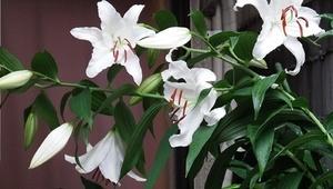 ユリの育て方 6月−2.鉢植え開花と花後の栽培