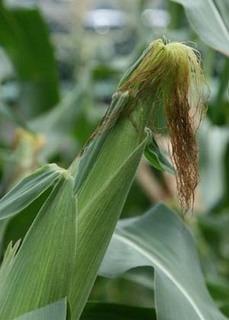 スイートコーンの育て方|追肥と収穫時期がコツ