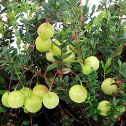 Cranberry (11).jpg