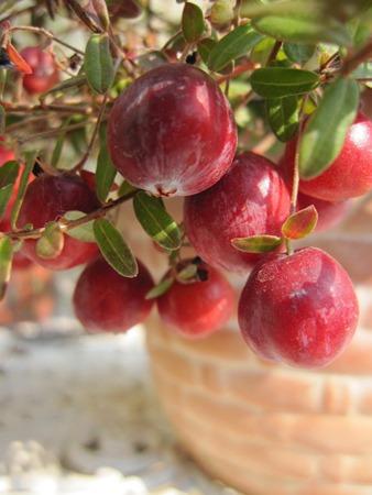 Cranberry (2).jpg