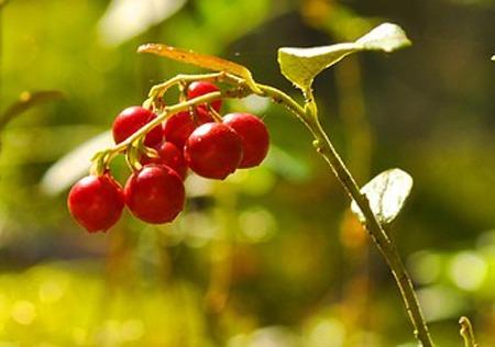 Cranberry (3).jpg