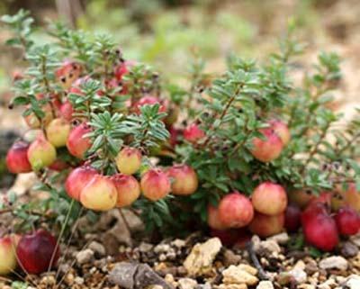 Cranberry (7).jpg