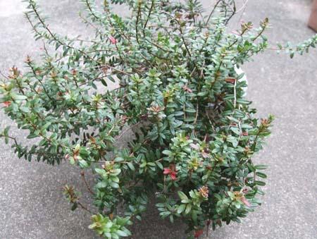 Cranberry uekae (3).JPG